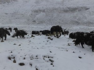 Yaks & ice on way to Guru Dogmaar lake.