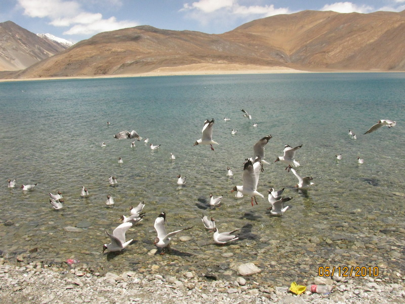 bird flying over pangong lake