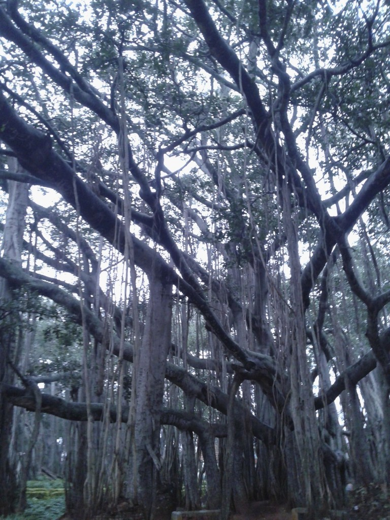 old banyan tree blr
