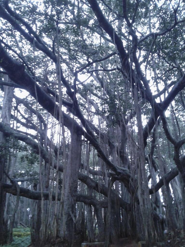 old banyan tree blr
